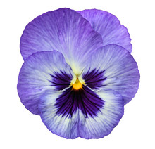 Blue Pansy Isolated On White B...