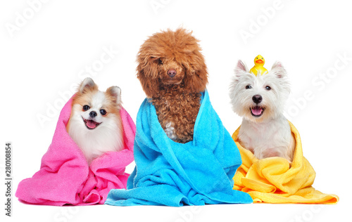 Papel de parede Three dogs in towels after bathing