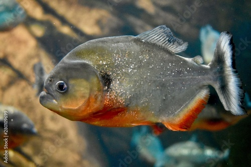 Fényképezés A red bellied piranha in an aquarium