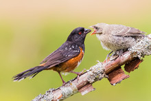 A Spotted Towhee Taking Care O...