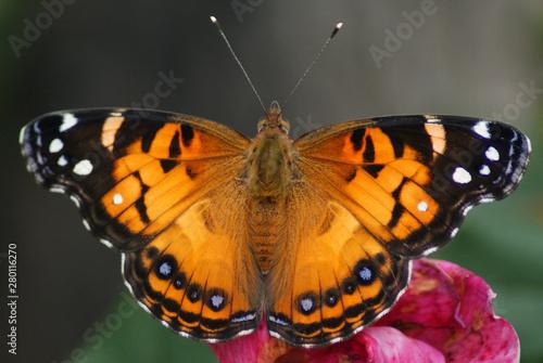 Vászonkép American Lady Butterfly