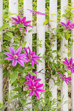 Red And Purple Clematis