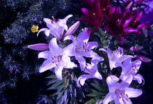 Flowering Lily In The Garden I...