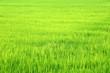 Leinwanddruck Bild - landscape of green rice plantation