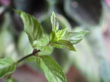 Peppermint (Mentha Piperita) Plant