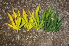 Unhealthy Marijuana Plant Leav...
