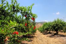 Pomegranates Ripe Fruits Grow ...