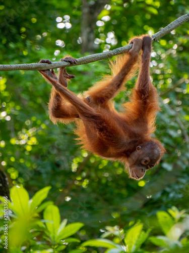 Captive Sumatran Orangutans (Orangutang, Orang-utang) Fotomurales