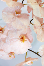 Close Up Of Pale Pink Orchids
