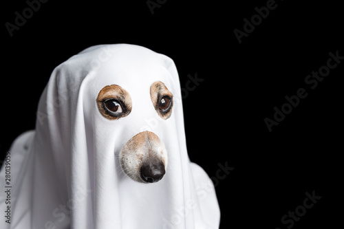 Photo  halloween dog ghost. intent stare. Black background