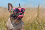 Fototapeta Zwierzęta - Funny cute and happy French Bulldog dog wearing pink sunglasses in summer in front of grain field and blue sky on a hot day