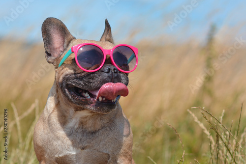 Funny cute and happy French Bulldog dog wearing pink sunglasses in summer in front of grain field and blue sky on a hot day - 280140296