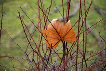 Autumn Leaves On Tree. Dry Maple Leaf Entangled In Thorny Branches On Green Blurred Background. Autumn Bare Tree Branches With Orange Leaf Of Maple Tree. Fall Season Backdrop Of Brown Twigs With Spike