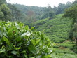 Tea field in Hangzhou best long jing green tea in the worl also most expensive July 2019