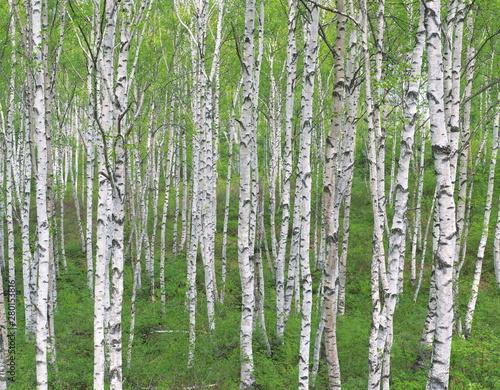 Tuinposter Berkbosje tree in forest