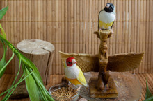 A Place For Tropical Birds At Home With  Two Gouldian Finches - Yellow Red-headed And Green Black-headed.