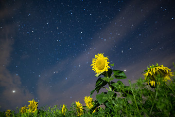 Sunflower field at night, astrophotography, stars on sky