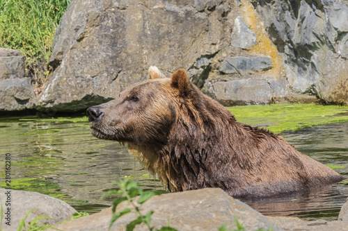 Brown bear popping up from the water while taking a bath