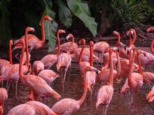 The Greater Flamingo (Phoenico...