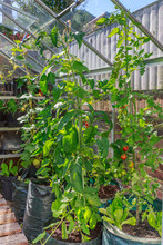 Tall Tomato And Cucumber Plants Growing In A Green House In A Back Yard Or Garden. The Plants Are In Large Black Sacks Of Soil And Are Tied To Support Them At The Top With String To An Open Window.