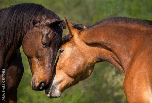Naklejki konie   two-beautiful-brown-horses-two-horses-embracing-in-friendship