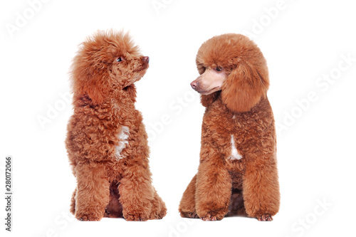 Comparison of brown poodle before and after grooming at the white background Poster Mural XXL