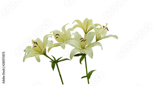 Fototapety, obrazy: white lilies on white background