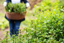 Gardening Wooden Basket With Herbs