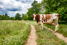 Red White Cow On Field Near Footpath
