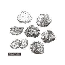 Truffle Mushroom Vintage Illustration. Engraved Style. Vector Illustration