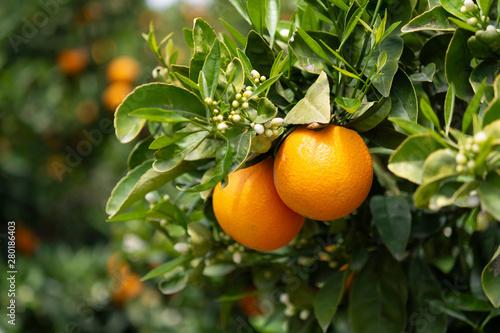 Vászonkép Orange citrus fruit plantation on Peloponnese, Greece, new harvest of sweet juic