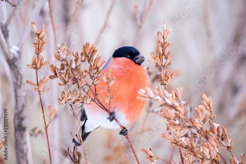 Photo red chest black head bird bullfinch in winter on a tree branch