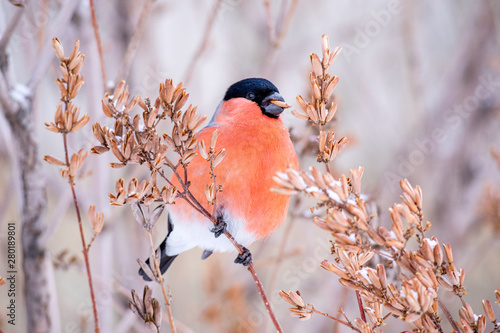 Cuadros en Lienzo bird bullfinch in beak to eat seeds from the tree in winter