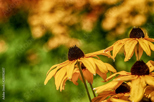 Fototapeta  Rudbeckia Hirta black-eyed Susan flower close-up photography