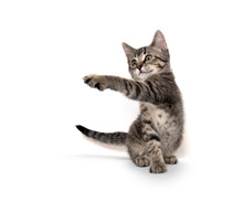 Tabby Cat Playing On White Bac...