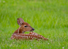 White-tailed Deer Fawn Bedded Down In An Open Meadow