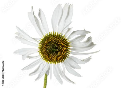 Fototapeta  Sonnenhut / Echinacea als Freiteller
