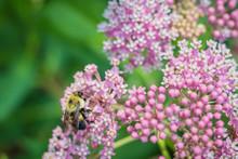 Bumblebee, Bombus, Feeds On Pi...