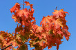 canvas print picture - red maple leaves on blue sky background, trees with red foliage in autumn