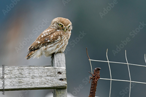 Recess Fitting Owl Steinkauz (Athene noctua) - Little owl