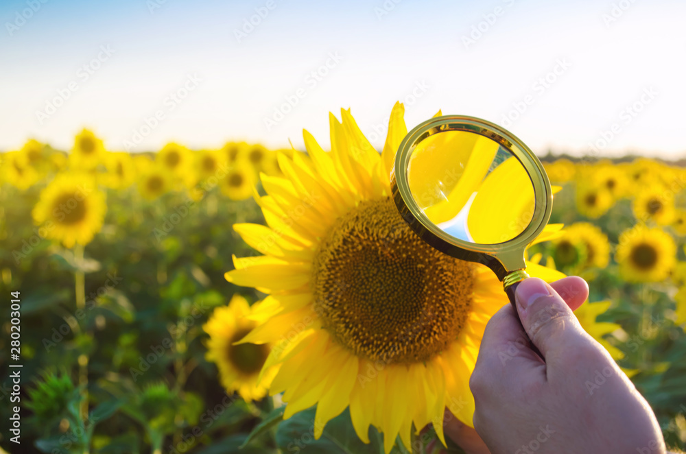 Fototapety, obrazy: The food scientist checks the sunflower for chemicals and pesticides. Crop quality. Sunflower oil and biofuel. Eco-friendly products. Pomology. Agriculture and farming. GMO test. Selective focus
