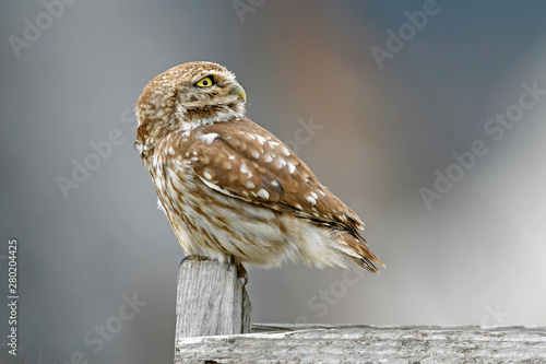 Photo Stands Owl Steinkauz (Athene noctua) - Little owl