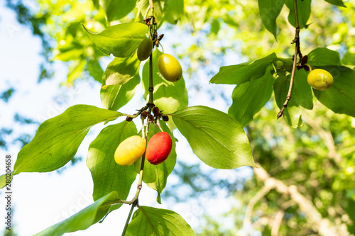 fruits of Cornelian cherry dogwood tree close-up Canvas-taulu