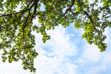 View Of Green Branches Of Oak Tree And Blue Sky