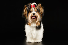 Biewer Yorkshire Terrier On Co...