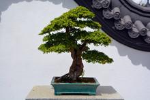 Bonsai. It Is An Asian Art For...