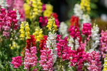Colorful Flower Of Snapdragon,...