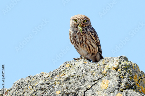 Photo Stands Owl Steinkauz (Athene noctua) mit Beute im Schnabel - Little owl