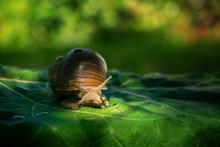Large Snail On Green Leaf