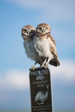 Two Young Burrowing Owls Perch...
